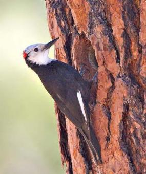 Male white-headed woodpecker in Yakima County (photo by Joe Higbee).