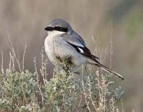 Loggerhead Shrike in Grant County, Washington (photo by Joe Higbee).