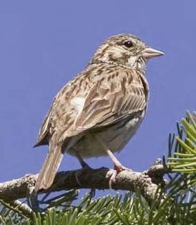 Oregon Vesper Sparrow (photo by Rod Gilbert).