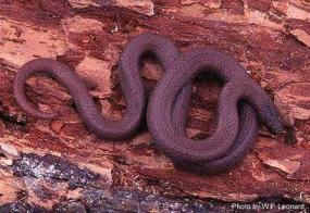Common sharp-tailed snake (photo by Bill Leonard).