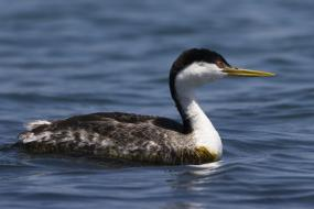 Western Grebe; image by mikebaird, courtesy of Encyclopedia of Life