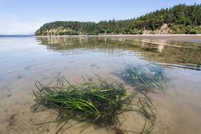 Eelgrass (Zostera marina L.) Photo courtesy: Aaron Barna