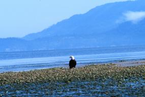 A bald eagle in Padilla Bay National Estuarine Research Reserve. Photo courtesy of NOAA.