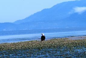 A bald eagle in Padilla Bay National Estuarine Research Reserve. Photo courtesy of NOAA.
