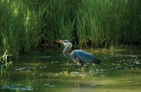 A great blue heron catching a fish in an estuary. Photo courtesy of NOAA