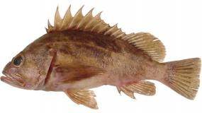 Brown rockfish (Sebastes auriculatus). Image courtesy of NOAA.