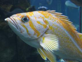 Canary rockfish. Photo by Tippy Jackson, courtesy of NOAA.