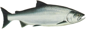 Drawing of Ocean Phase Chinook (king) salmon (Oncorhynchus tshawytscha)