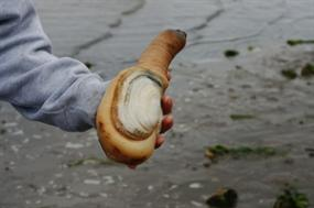 Geoduck (Panopea generosa). Image courtesy Washington Sea Grant.