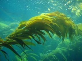 Giant Kelp (Macrocystis pyrifera). Photo by Claire Fackler. Courtesy of NOAA.