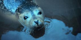 Harbor seal (Phoca vitulina). Image courtesy of NOAA.