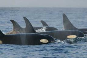 Southern resident orcas. Photo: NOAA http://www.nmfs.noaa.gov/pr/species/mammals/cetaceans/killerwhale_photos.htm