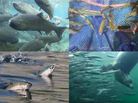 Clockwise from top left: 1) Spring Chinook Salmon. Photo: Michael Humling, US Fish & Wildlife Service. 2) Juvenile salmon in seine. Photo courtesy: Long Live the Kings https://lltk.org/ 3) A harbor seal hunting anchovies. From Howe Sound Ballet video by Bob Turner: https://youtu.be/Ycx1hvrPAqc 4) Chinook salmon leaping at the Ballard Locks in Seattle. Photo: Ingrid Taylar (CC BY 2.0) https://www.flickr.com/photos/taylar/29739921130