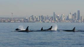 PCBs are leading culprits in the decline of Southern Resident Killer Whales in Puget Sound. Photo courtesy of NOAA.
