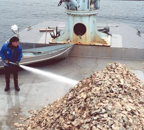 Oyster shell cultch containing seed oysters is washed onto a public beach. Image courtesy of WDFW.
