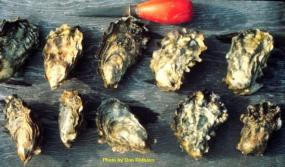 Pacific Oyster (Crassostrea gigas). Photo by Don Rothaus. Courtesy of the Washington Department of Fish and Wildlife.
