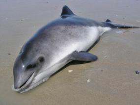 Harbour porpoise stranded due to bycattch. Source: Jan Haelters