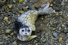 Harbor seal (Phoca vitulina). Photo by Peter Davis, US Fish and Wildlife Service.