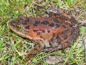 Female Oregon spotted frog (Rana pretiosa). Photo by Kelly McAllister.