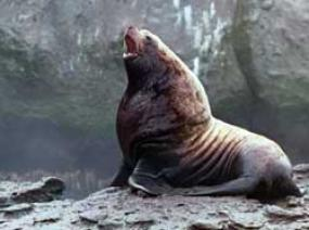 Steller Sea Lion (Eumetopias jubatus). Photo by NOAA Fisheries.