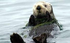 Figure 1. Sea otter (photo by USFWS).