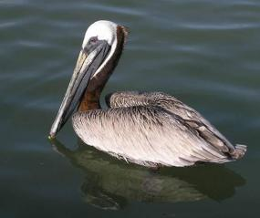 Brown pelican. Photo by D. Stinson.