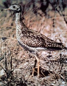 Upland sandpiper. Photo courtesy of Washington Department of Fish and Wildlife.