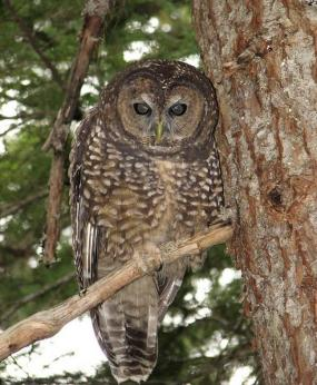 Northern spotted owl in the Olympic Mountains. Photo by Rod Gilbert.