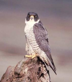 Peregrine falcon. Photo by Brian Caven.
