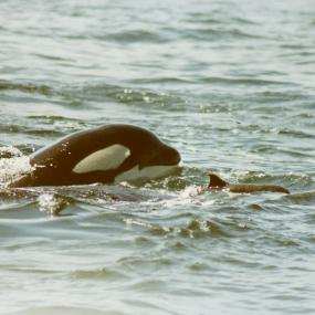 A 6-year-old killer whale from L pod, known as L-73, chases a Dall's porpoise in this historical photo taken in 1992. Photo: Debbie Dorand/Center for Whale Research