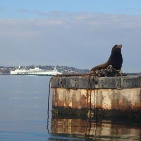 Sea lion sunbathing between meals in Seattle's Eliott Bay. Photo: Johnny Mumbles (CC BY 2.0) https://www.flickr.com/photos/mumbles/3283168713