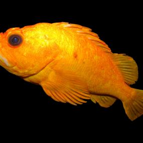 Yelloweye rockfish. Photo by Brian Gratwicke; Creative Commons Attribution 2.0 Generic license: http://www.flickr.com/photos/19731486@N07/5624404677