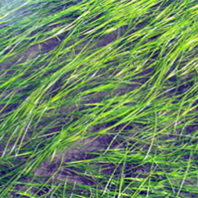 Eelgrass bed. Photo: NOAA