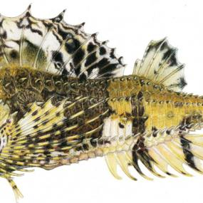 An illustration of the fourhorn poacher (Hypsagonus quadricornis). Copyright: Joseph R. Tomelleri