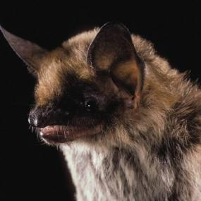 Fringed Myotis. Photo © Merlin D. Tuttle, Bat Conservation International, www.batcon.org