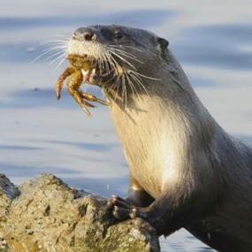 River otter with crab. Photo courtesy of the SeaDoc Society.