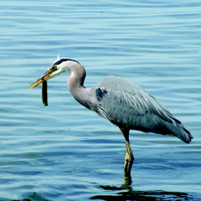 Great blue heron fishing. Photo: Leo Shaw, The Seattle Aquarium.