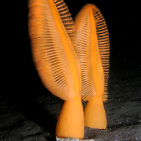 Ptilosarcus gurneyi (with a striped  nudibranch) off Whidbey Island, WA;  photo by Jan Kocian.