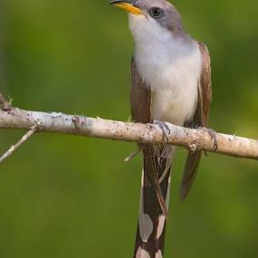 Figure 1. Yellow-billed cuckoo (© David Speiser, www.lilibirds.com).