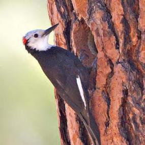 Male white-headed woodpecker in Yakima County (photo by Joe Higbee).