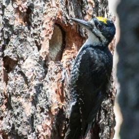 Black-backed woodpecker (photo by Joe Higbee).