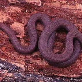 Common sharp-tailed snake (photo by Bill Leonard).