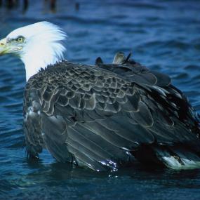 Bald eagle (Haliaetus leucocephalus). Image courtesy U.S. Fish and Wildlife Service.