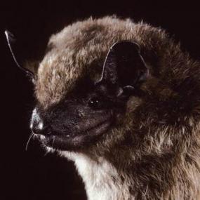 Image copyright Merlin D. Tuttle, Bat Conservation International, www.batcon.org