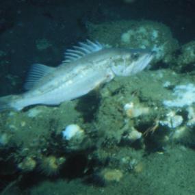 Bocaccio (Sebastes paucispinis). Photo courtesy of NOAA.