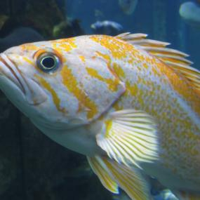 "The Canary Rockfish is one of the 119 species listed in a new paper from the SeaDoc Society as ""at risk."" Photo by Tippy Jackson, courtesy of NOAA."