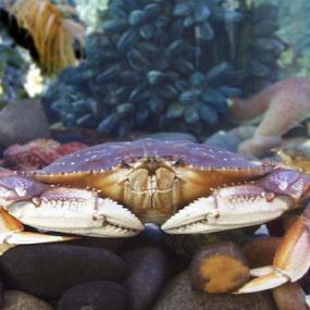 Dungeness crab (Cancer magister). Photo courtesy of NOAA.