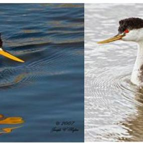 Clark's grebe, left, is similar to the western grebe, right, but has white around the eye and a brighter yellow bill (photos by Joe Higbee).