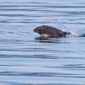 Harbor Porpoise (Phocoena phocoena). Bellingham Bay, WA. Photo: Andrew Reding (CC BY-NC-ND 2.0) https://www.flickr.com/photos/seaotter/9509722373/