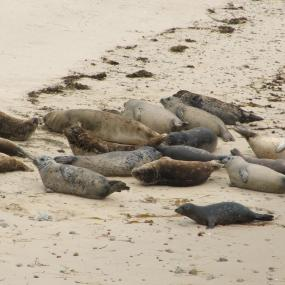 Harbor seals at haulout site. Photo courtesy of WDFW: http://wdfw.wa.gov/wildwatch/sealcam/.